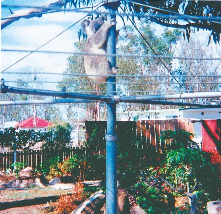 Koala up the Hills Hoist • hills rotary clothes hoist