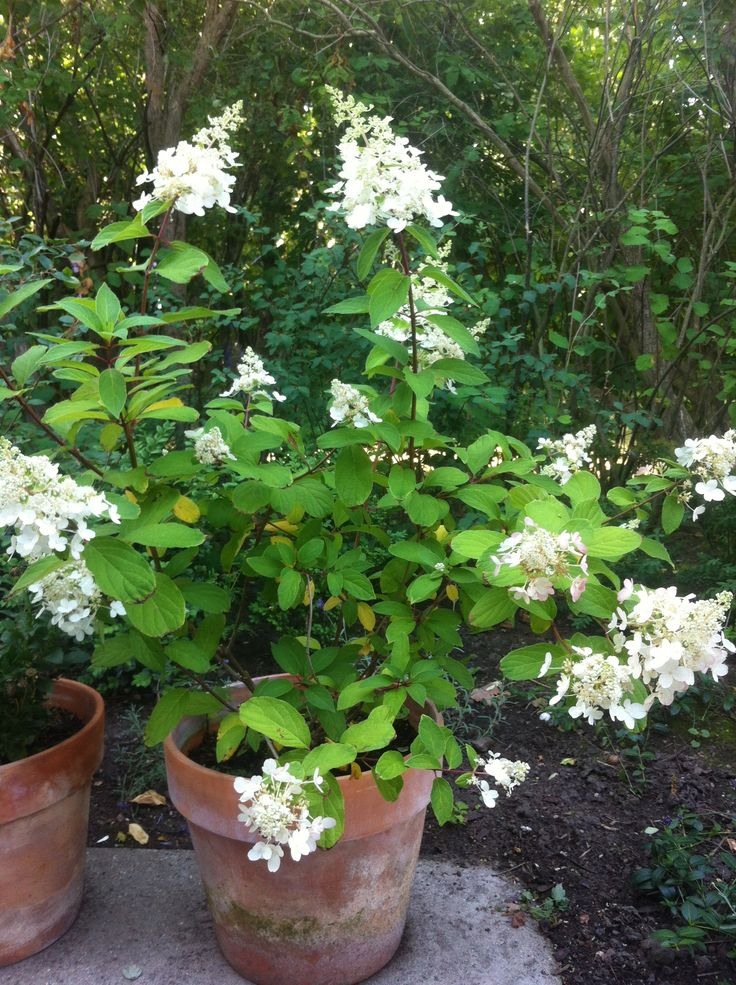 Hydrangea (Limelight), summer colours
