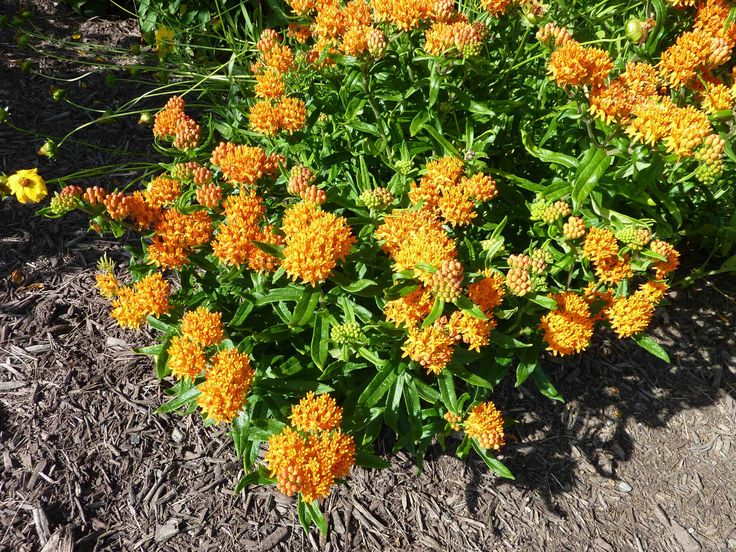 17 best images about indiana native plants on pinterest