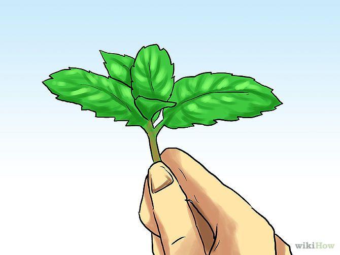 HORTELÃ - como plantar, cuidar, transplantar - mantenha a terra sempre úmida e a planta em lugar com bastante luz. faça podas para impedir a floração, que 'rouba' bastante energia das folhas. Anualmente, divida a planta em novos lotes, para que ela continue crescendo forte e viçosa. :)