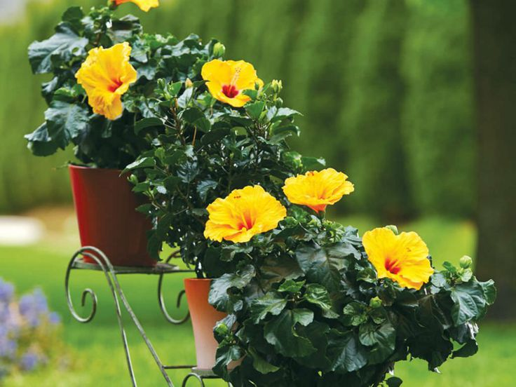 Hibiscus should be moved outside in the summer, then back inside during the winter. Tips for a successful transition include: Trim the...