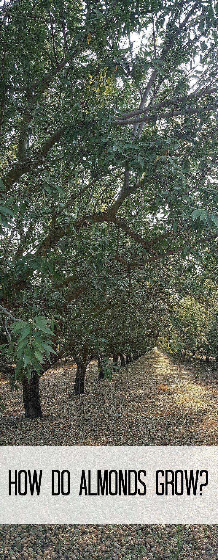 How do almonds grow? California Almond Farm Tour and 15 Delicious Almond Recipes Ad
