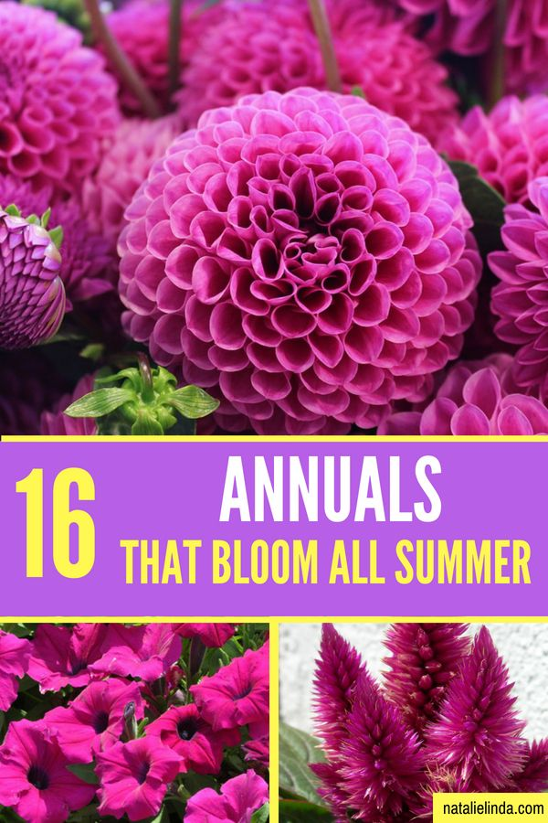 16 Annuals That Bloom All Summer Long Summer Blooming Flowers