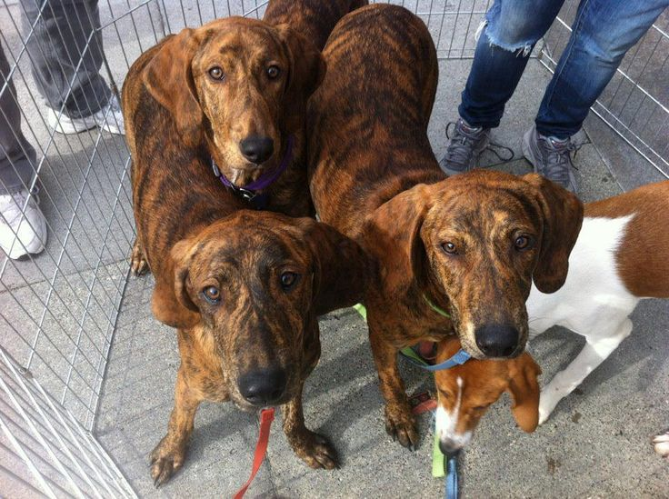 Nc Plott Hound Breeders 128 best Plott Hounds ...
