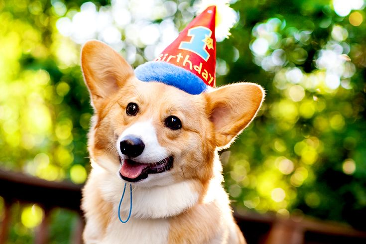 National Dog Day Corgi