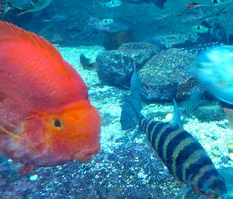 17 best images about fish related on pinterest for Parrot fish freshwater