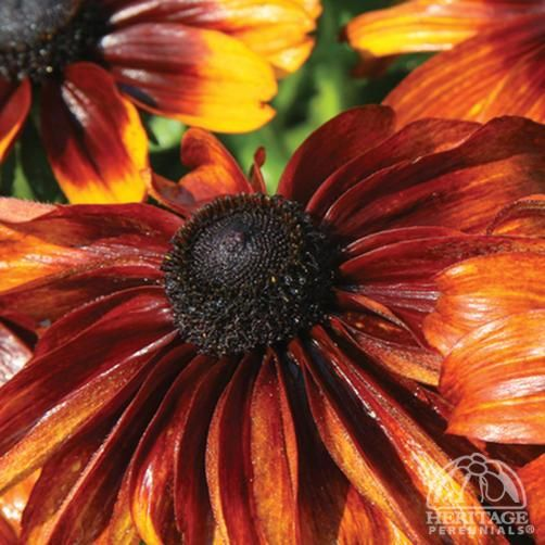 Plant Profile for Rudbeckia hirta 'Autumn Colors' - Gloriosa Daisy Perennial