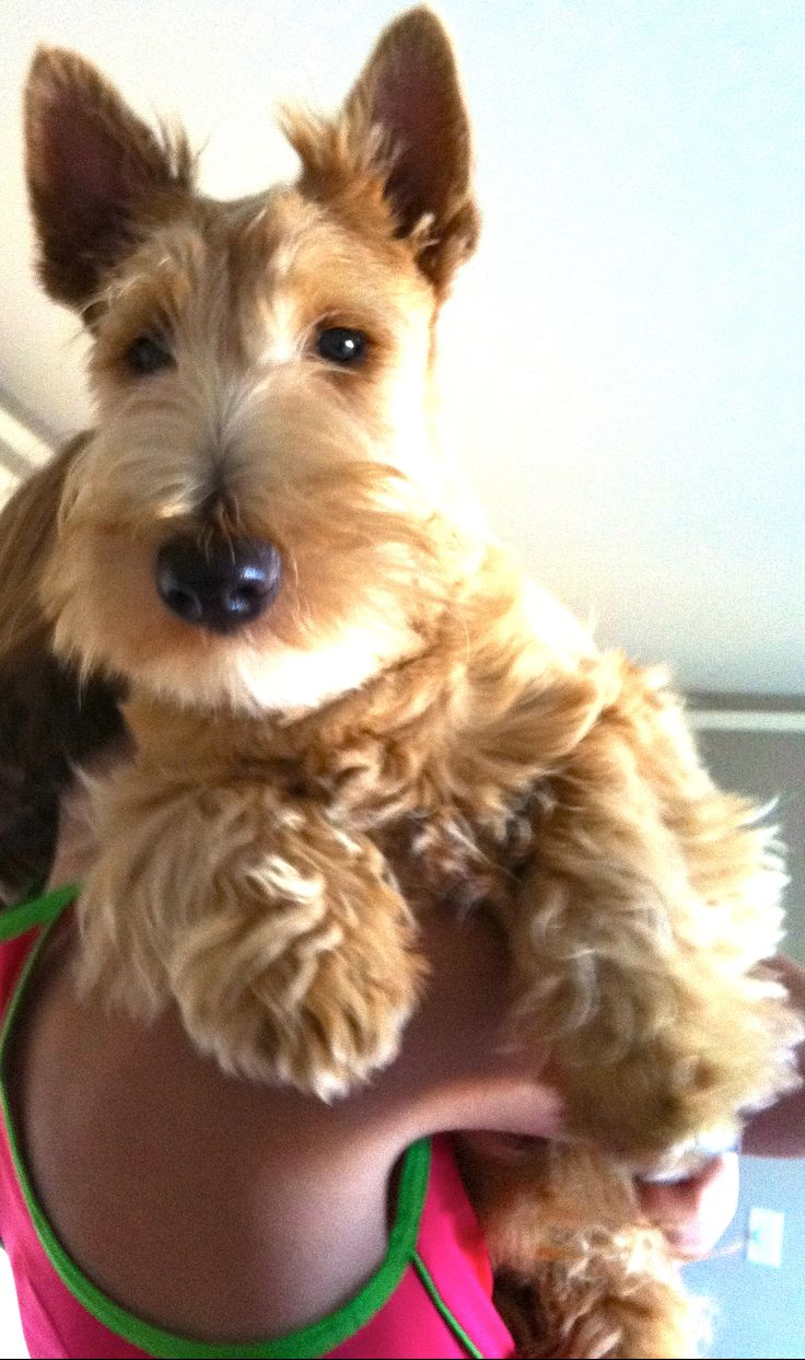 My own little beastie: General Patton,  a Wheaton-colored Scottish Terrier, 9 mos