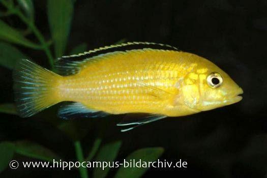"""Gelber Labidochromis """"Yellow"""", Labidochromis caeruleus, 4-6 cm Tiere Zierfische Barsche & Skalare Malawisee-Cichliden"""