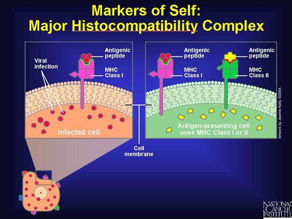 Markers of Self: Major Histocompatibility Complex