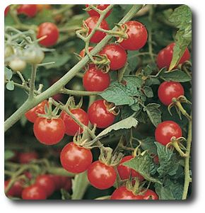 how to grow cherry tomatoes from seeds in pots