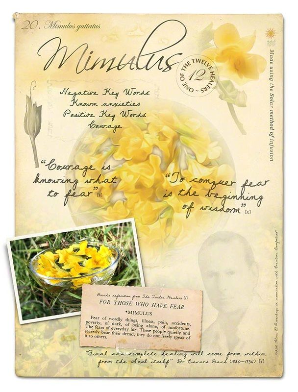 Mimulus Bach Flower Poster                              …