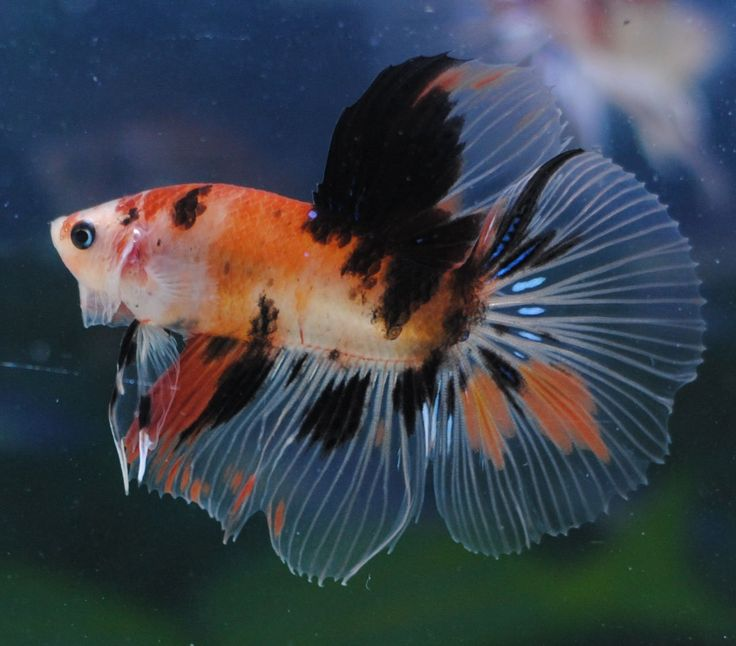 Fwbettashm1453130668 orange koi beautiful betta fish for Orange koi fish