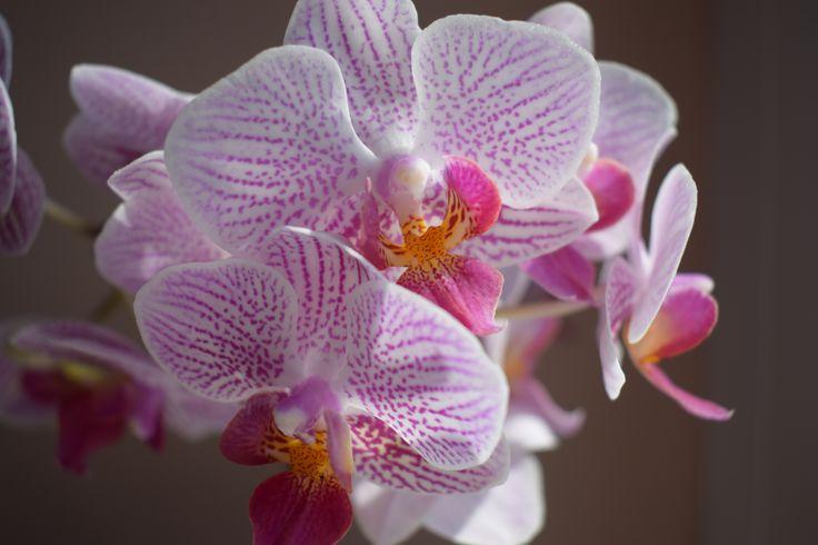 lepkeorchidea