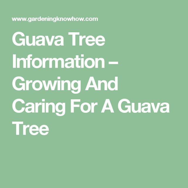 Guava Tree Information – Growing And Caring For A Guava Tree