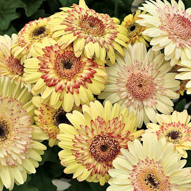 Gerbera Daisy Seeds - STRAWBERRY TWIST - Excellent for Arrangements -50 Seeds #theseedhouse