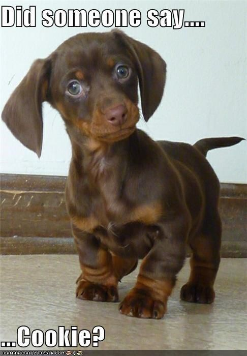 Did someone say… cookie?  LOL  Cute dachshund puppy. - http://animalfunnymemes.com/did-someone-say-cookie-lol-cute-dachshund-puppy/