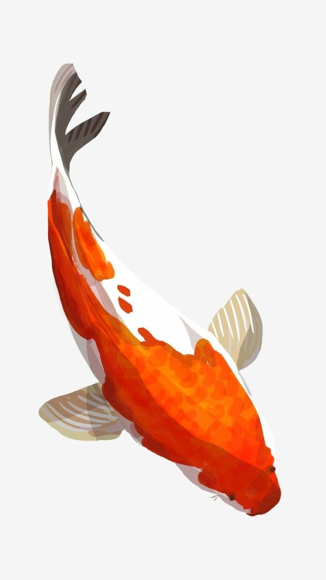 Koi Fortune Fish Lucky Fish Ornamental Fish Aquatic Red White Png Transparent Image And Clipart For Free Download Koi Painting Watercolor Fish Fish Clipart