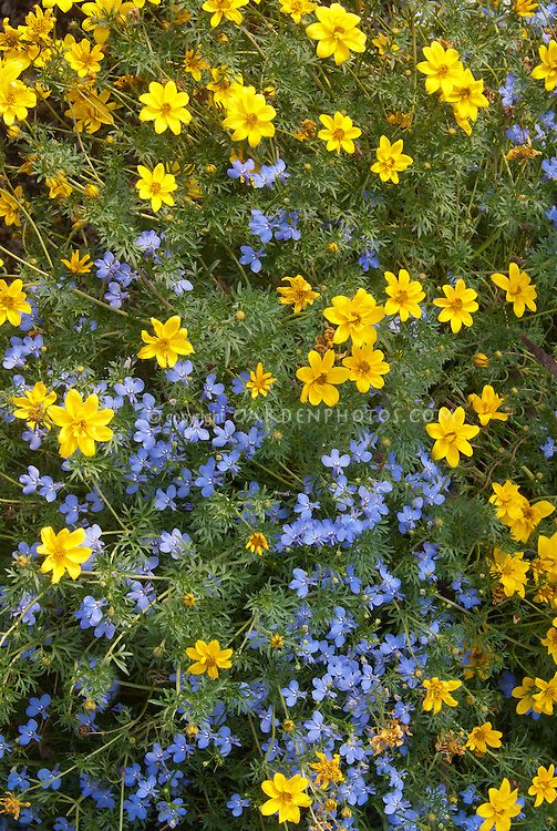 Lobelia erinus and tickseed Coreopsis flowers in bloom by judywhite / Garden Photos.com
