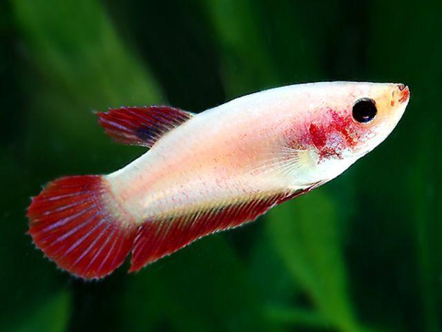 Female Betta Fish Betta Fish Types Betta Fish Betta