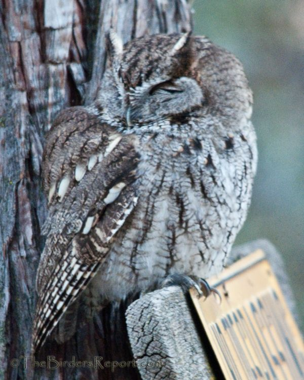 The Western Screech-Owl Nests in Tree Cavities