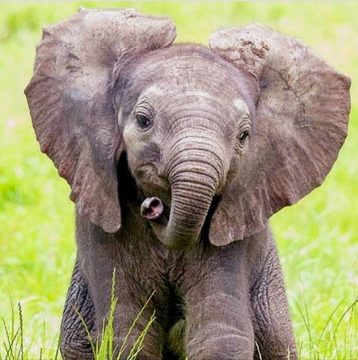 Слоник настоящий картинки