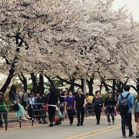 【elkayelba】さんのInstagramをピンしています。 《Cherry blossom. South Korea. . . . .  #southKorea #Korea #Korea#seul #Seoul #travel  #travelgram #vscotravel #wanderlust #worldlust  #sharetravelpics  #travelidol #travelstoke #worldnomads #travelgram #travelphotography #unitedtravelnetwork #weareexplorers #worldtravelparadise #touroftheworld #travellover #serial_traveler #cherryblossoms》