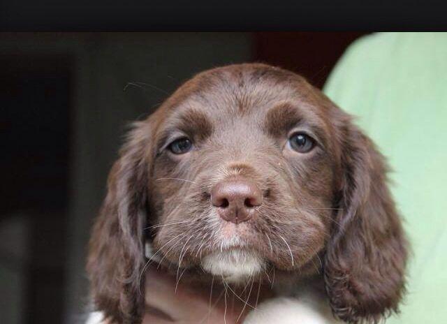 Sprocker Spaniel girl pup ❤️