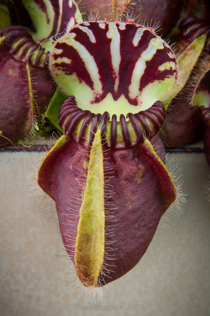 1000 Images About Carnivorous Plant On Pinterest
