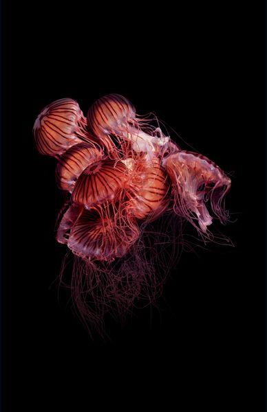 Ces photographies exceptionnelles de méduses ont été réalisés par Guido Mocafico, un photographe Suisse vivant à Paris spécialisé dans les natures mortes. Il y a plus de photos sur le site du photographe et il en a même fait un livre.