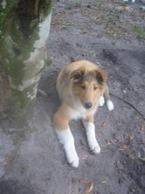 Collie Pups Tampa Bay Times Tampa Bay Tampa Pup