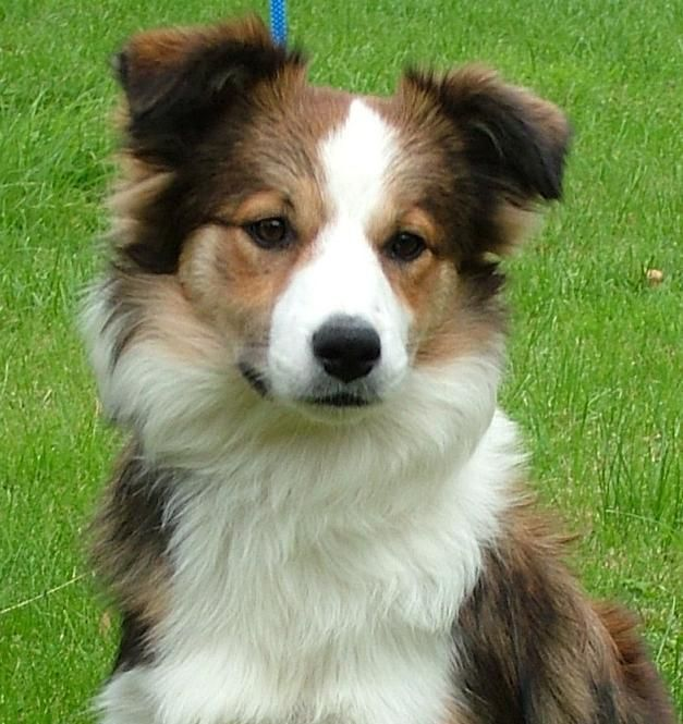 Gallery's For > Red Sable Border Collie    [looks just like Rosie]