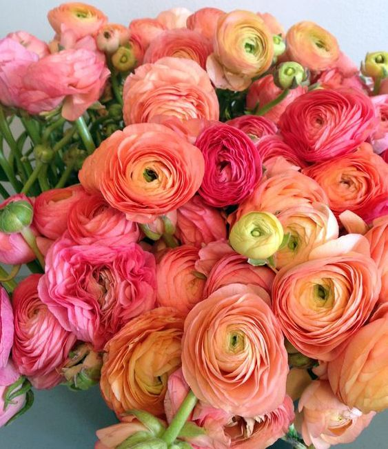 Coral Ranunculus - a wonderful summer house style flower                                                                                                                                                                                 More