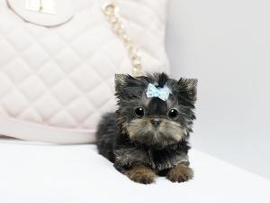 Pinterest teacup poodles teacup puppies and teacup poodle puppies