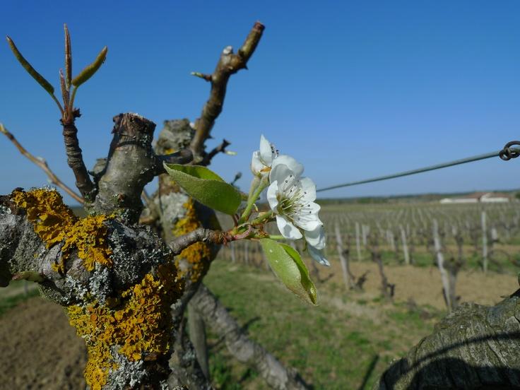 Un poirier dans les vignes... ce n'est plus si courant de nos jours !
