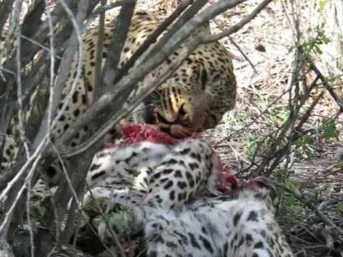 Male Leopard, Tingana, eating leopardess Xiluva