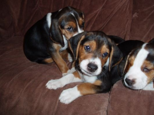 Hamiltonstovare Hamiltonstovare Hamilton Hound Swedish Foxhound Dogs Puppy American Foxhound The Fox And The Hound Dogs