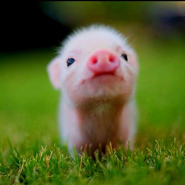 Tiny piggy pet: Piglets, Little Pigs, Teas Cups, Minis Pigs, Baby Pigs, Piggy, Teacups Pigs, Pet Pigs, Animal