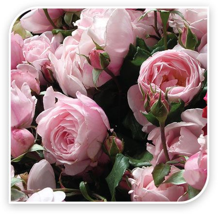 Nahema™ The best fragrant climber on the market. Delicate almond/pink tones, velvety cupped double petals with a big perfume of citrus, peach apricot, pear and rose.The renown perfume of Guerlain is based on the essence of this rose. Nahema™repeat flowers well and is easily trained along a fence line. Grows approximately 300cm high.Nahema™(deleri)