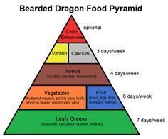 learn about bearded dragon habitats and nutrition