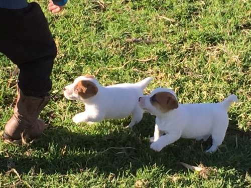Purebred tan and white Jack Russell pups, 1 male and 1 female. They have been wormed fortnightly from birth, will be vaccinated, microchipped and vet checked, ready for their new forever homes from 14th August. Both parents are registered and can be viewed - https://www.pups4sale.com.au/dog-breed/446/Jack-Russell-Terrier.html