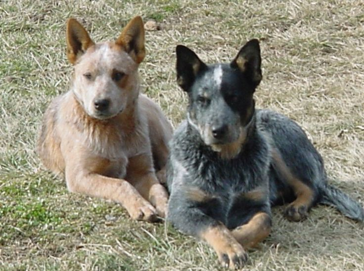 Blue Heeler Dog Pictures