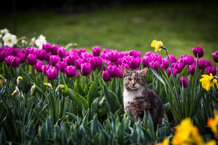 Kot, Kwiaty, Tulipany, Żonkile