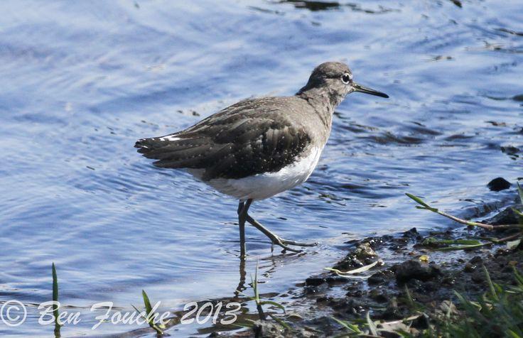 Rare summer visitor at Rietvlei - Green Sandpiper - Birdwatcher