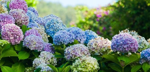 Colour the garden pretty with gorgeous blues and pinks.