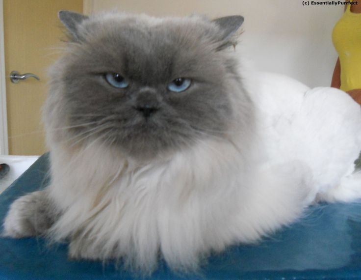 Dinky A Persian Cat Customer In Horwich Bolton Manchester After Her Mobile Catgrooming Session Well Done Dinky Cat Grooming Cats Animals