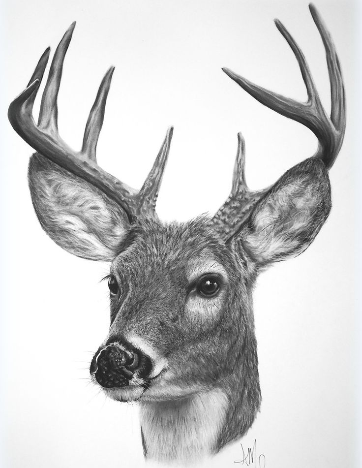 It is a picture of Candid White Tailed Deer Drawing
