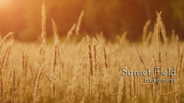Sunset Field Grass, Field Grass in Golden Sunset Rays Nature Footage #videohive #grass #footages #nature