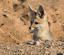 Wildlife at Serra Cafema | Wilderness Safaris Cape fox on the lookout