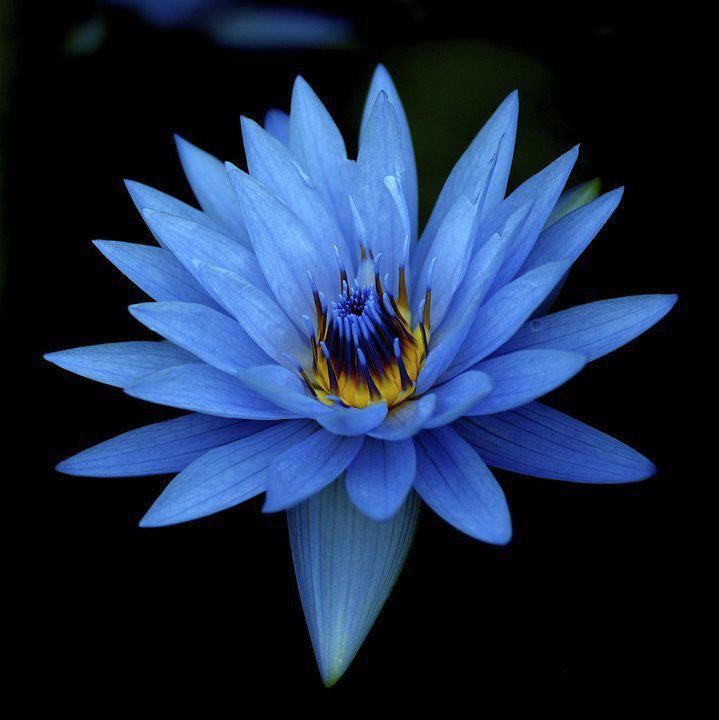 Best 20+ Blue Lotus Ideas On Pinterest